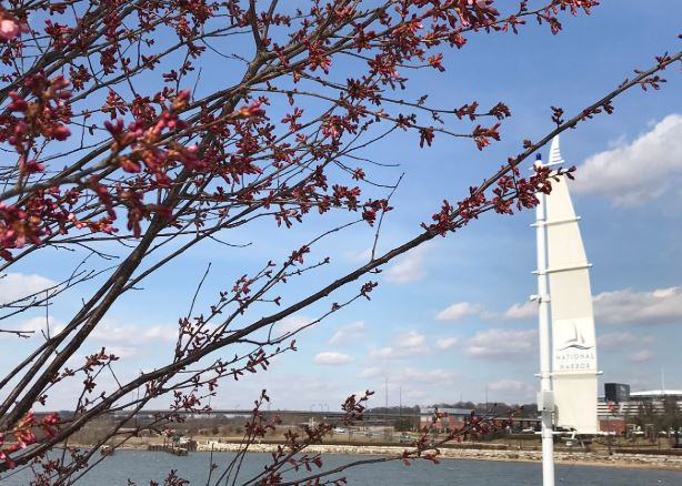 National Harbor Cherry Blossoms